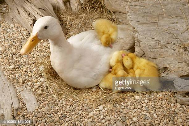 Mother duck with sleeping babies in nest