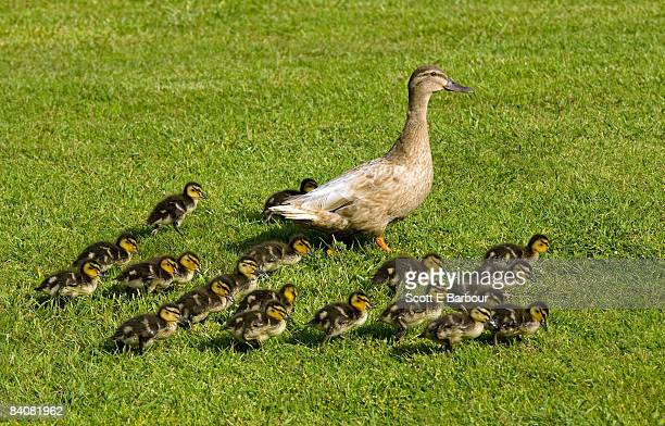 mother duck with twenty ducklings  - young animal stock pictures, royalty-free photos & images