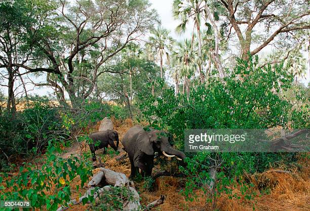 Mother elephant and calf feed in woodland in Moremi National Park Botswana
