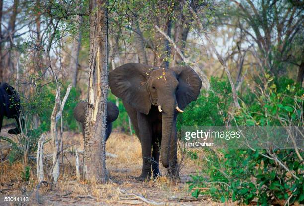 Mother elephant and calf in woodland in Moremi National Park Botswana