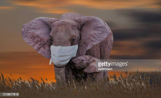 mother elephant grazing with calf at wild and with mask against the coronavirus - animal body part stock pictures, royalty-free photos & images