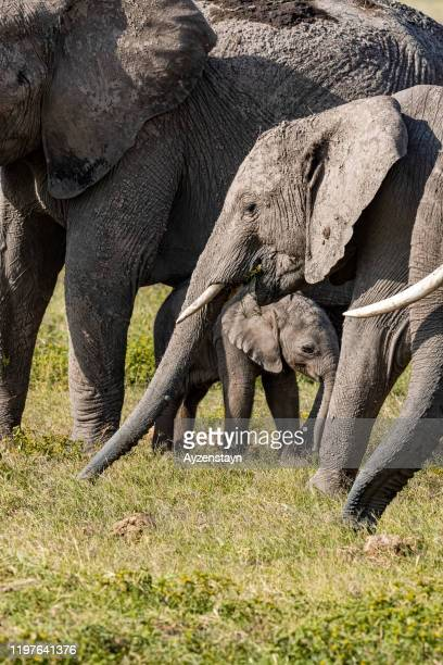 mother elephant grazing with calf at wild - animal family stock pictures, royalty-free photos & images