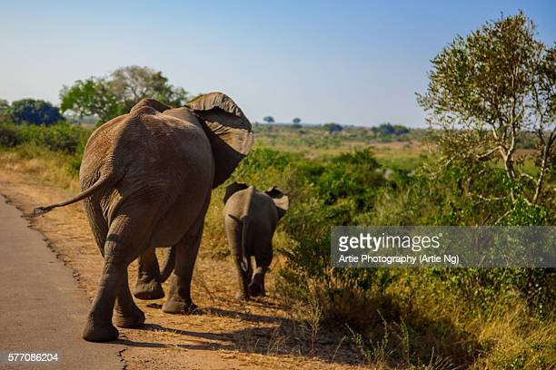 A Mother Elephant Walking Along With Her Calf, Kruger National Park, South Africa