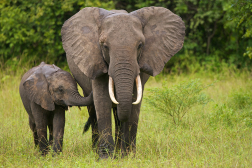 A mother elephant walking with her calf in the grass 105701467
