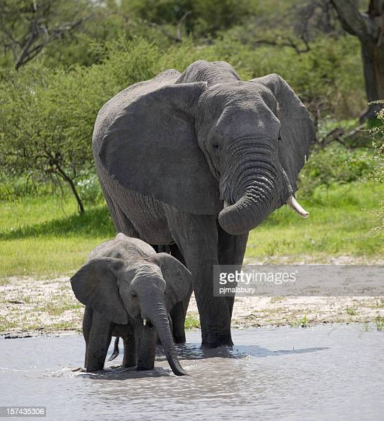 A mother elephant walking with her calf in the river.