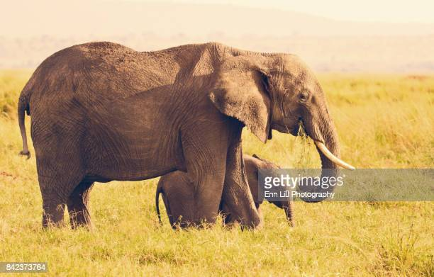 mother elephant with baby - baby elephant stock photos and pictures