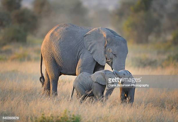 mother elephant with twins in kenya, east africa - amboseli stock photos and pictures