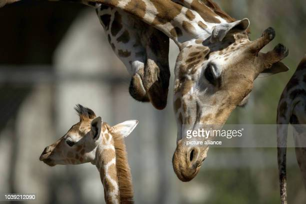 Mother Etosha stands next to its offspring Madiba in their enclosure at the zoo Hagenbeck in Hamburg Germany 16 April 2014 The giraffe offspring was...