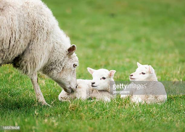Mother ewe nurturing her lambs