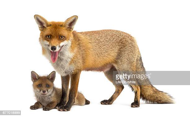 Mother fox with her cub