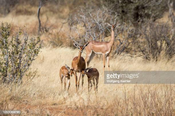 A mother Gerenuk with twin babies in Samburu National Reserve in Kenya