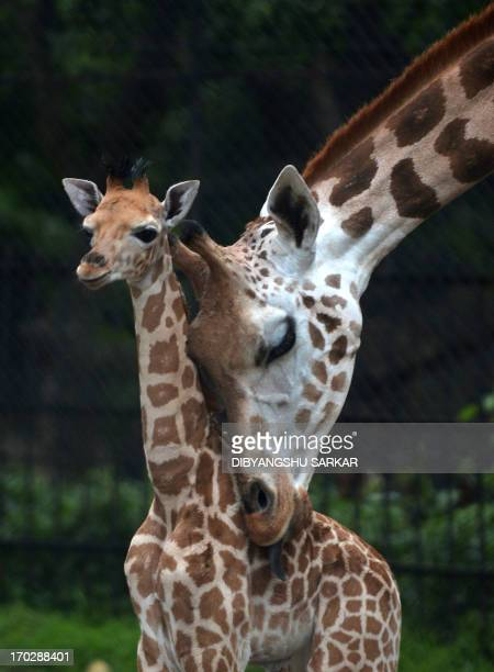 A mother giraffe licks her 20day old baby giraffe calf and stays close to him at the Alipore Zoological Garden in Kolkata on June 10 2013 With the...