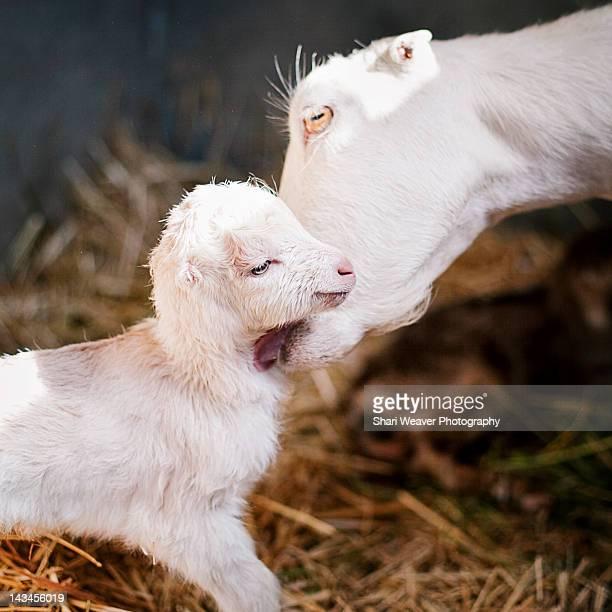Mother goat licking her newborn baby