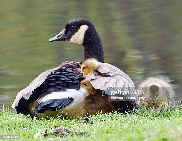 Mother goose and her chicks