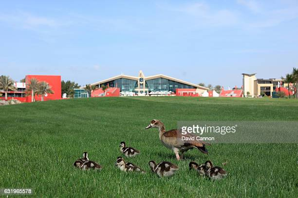 A mother goose and her goslings feeding on the grass seed oblivious to the golf on the ninth hole during the proam for the 2017 Abu Dhabi HSBC Golf...