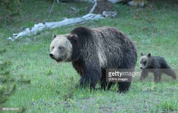 Mother Grizzly and her cub walk through a meadow in Yellowstone National Park