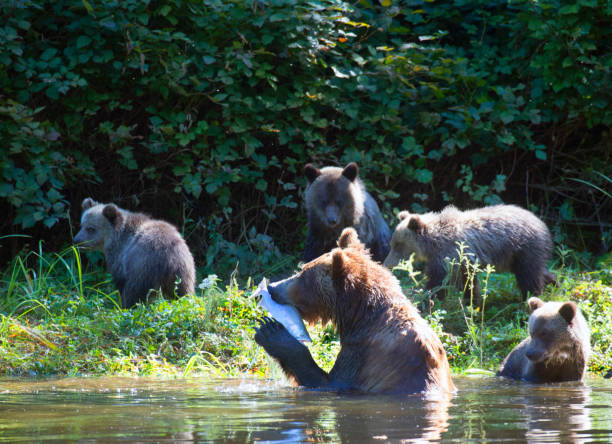 Mother grizzly bear and cubs fishing.