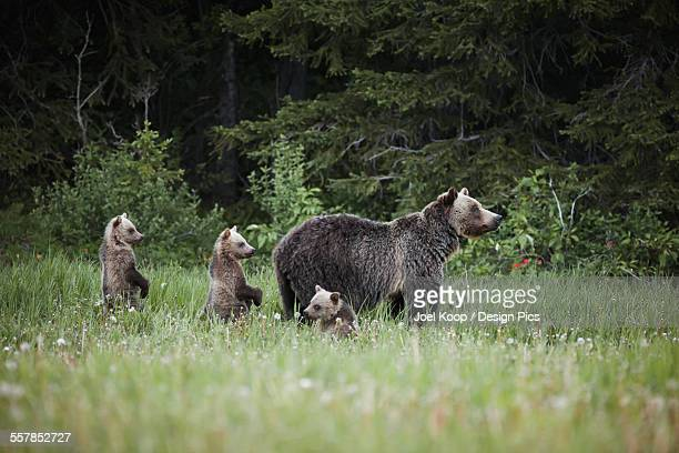 mother grizzly bear with three cubs trying to get a better look when they hear a sound - kananaskis country stock pictures, royalty-free photos & images