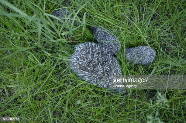 A mother hedgehog and her 3 babies hedgehogs are seen at Foundation Igliwiak a rescue center for hedgehogs in Kazimierza Wielka Poland on May 30 2017...