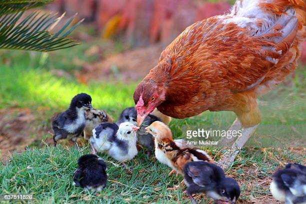 Mother Hen And Its Chicks