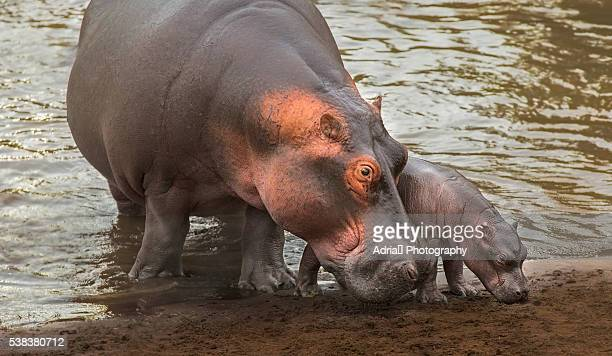 Mother Hipppo with newborn baby
