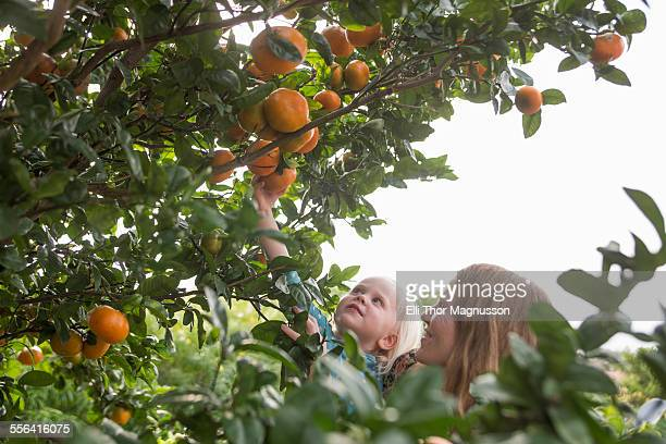 Mother holding up toddler daughter to harvest oranges from garden tree