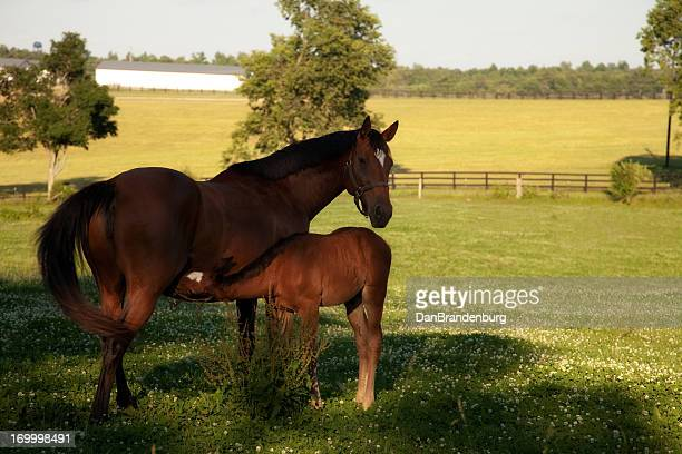 Mother Horse Nurses Her Baby Colt