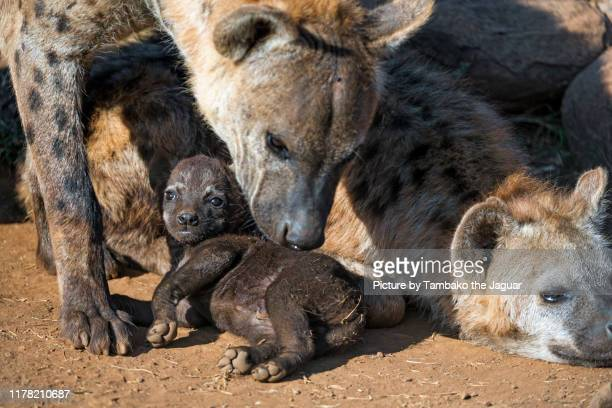 mother hyena sniffing cub - wild dog stock pictures, royalty-free photos & images