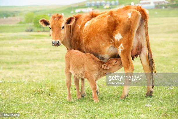 Mother Jersey cow nursing her baby calf