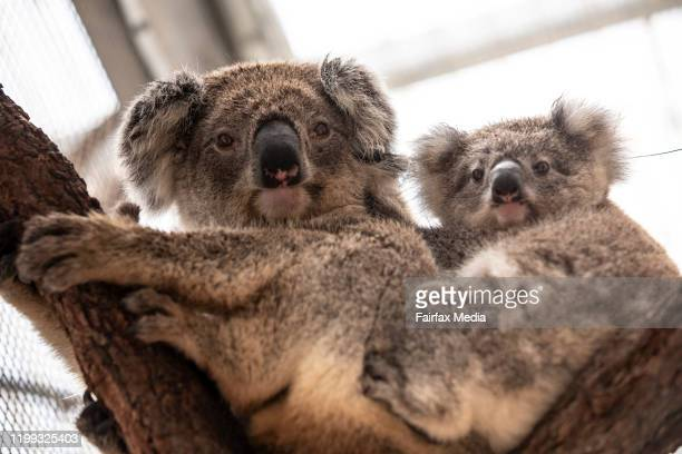 A mother koala and her joey are rehabilitated at Taronga Zoo in Sydney after a bushfire ravaged their habitat in the Blue Mountains west of Sydney...