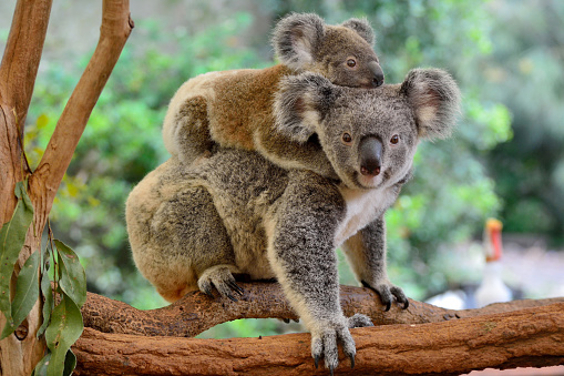 Mother koala with baby on her back 937210306
