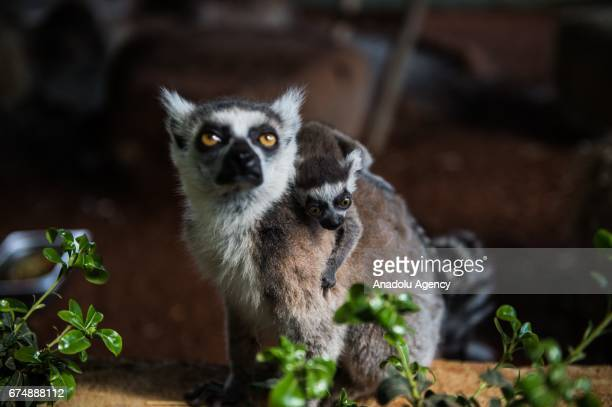 A mother lemuriformes and her new born baby are seen at Gaziantep Zoo in Gaziantep Turkey on April 29 2017 Turkey's first Europe's second and World's...