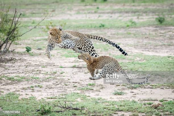 a mother leopard, panthera pardus, jumps and plays with her cub, both jumping in the air - leopard stock pictures, royalty-free photos & images