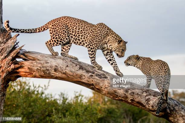a mother leopard, panthera pardus, walks down a dead log to its cub, paw in the air. looking out of frame. - kruger national park stock pictures, royalty-free photos & images