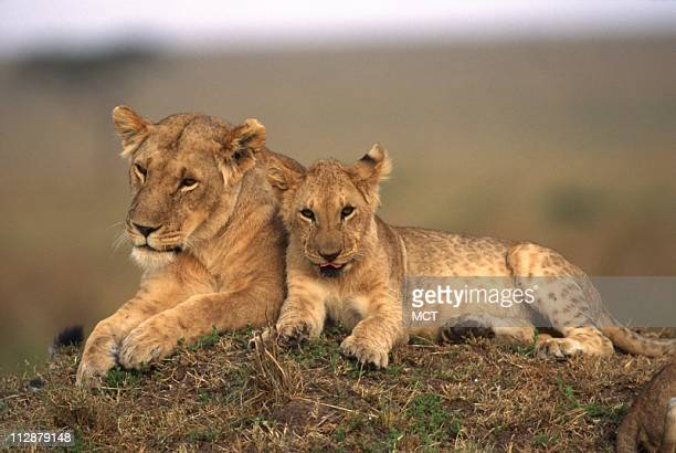 A mother lion and cub are seen lounging on a safari Most tourists come for safari on the Maasai Mara that rustcolored landscape alive with culture...