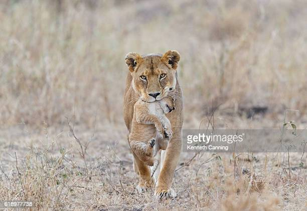 mother lion carrying cub, serengeti national park, tanzania africa - lion stockfoto's en -beelden