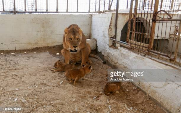 Mother lion is seen with her newborn cubs in their cage at a zoo in Rafah Gaza on September 08 2019 A mother lion at a zoo in Gaza Strip gave birth...