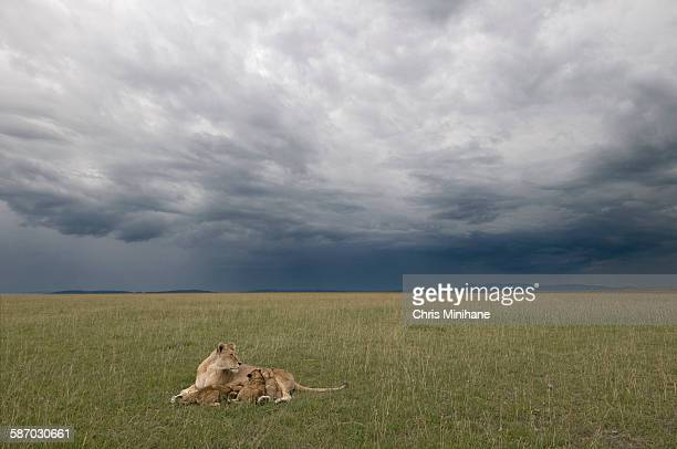 mother lion with cubs and dramatic sky - nairobi stock-fotos und bilder