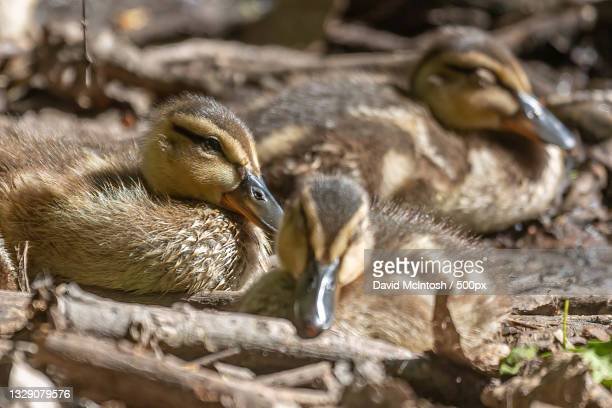 mother mallard duck with mallard ducklings in a pond,sarnia,ontario,canada - サルニア ストックフォトと画像