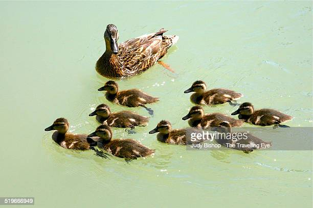 Mother mallard with nine ducklings