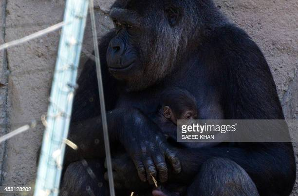 Mother Mbeli takes care of her newly born Western Lowland Gorilla baby boy in an enclosure at Sydney's Taronga Zoo on October 31 2014 The young...