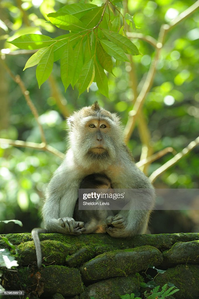 Mother monkey suckling her very young baby. : Stock Photo