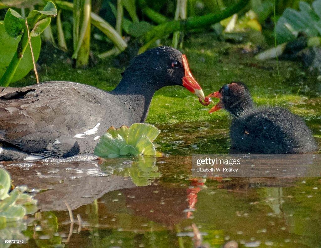 Mother Moorhen Feeding its Chick : Stock-Foto