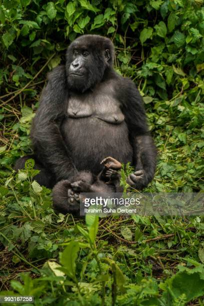 mother mountain gorilla is sitting on the ground and looking into the forest while her baby is playing in front of her. - gorille photos et images de collection