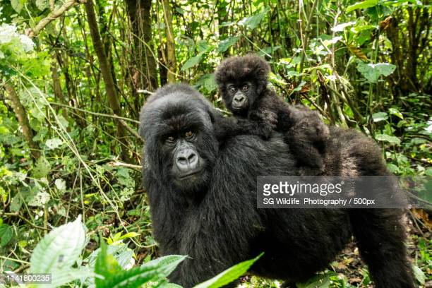 mother mountain gorilla with a baby gorilla in the virunga national park - virunga national park stock pictures, royalty-free photos & images
