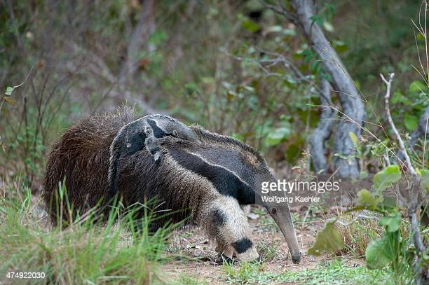Mother of endangered Giant anteater is carrying her baby on the back at Caiman Ranch in the Southern Pantanal in Brazil.