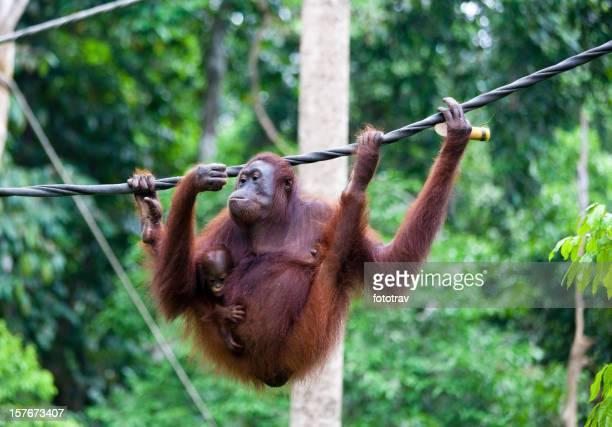 Mutter orang-utan-Babys tragen und Bambus
