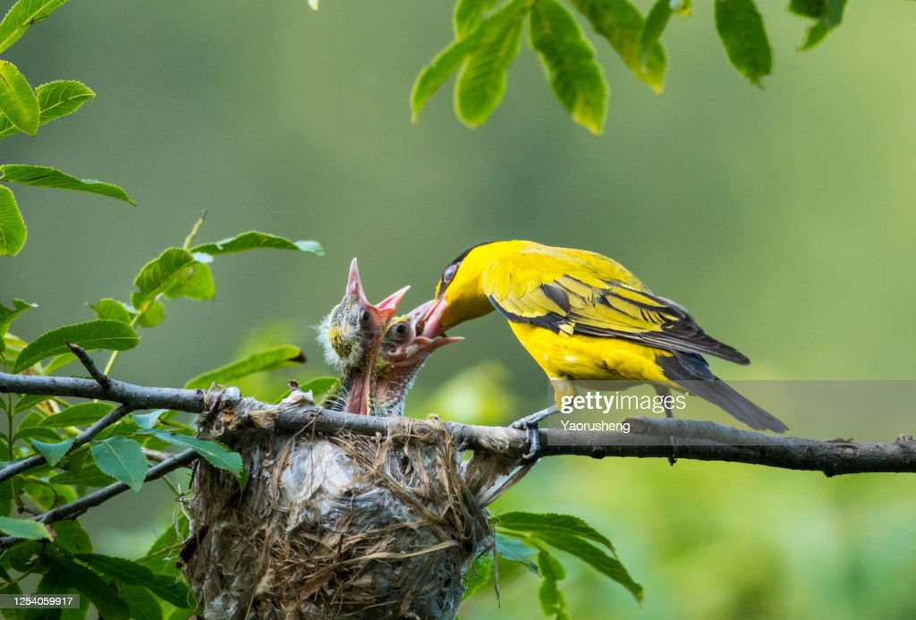mother Oriole feeding the baby Oriole on the tree : Stock Photo