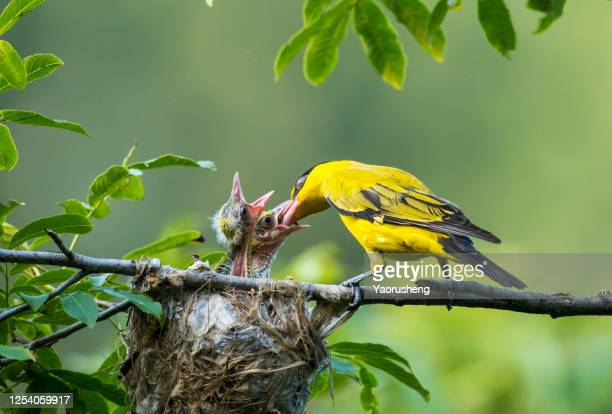 mother oriole feeding the baby oriole on the tree - songbird stock pictures, royalty-free photos & images