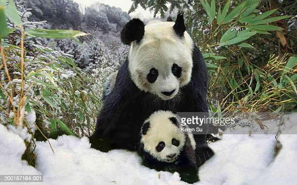 Mother panda and cub (Ailuropodinae melonoleuca), winter